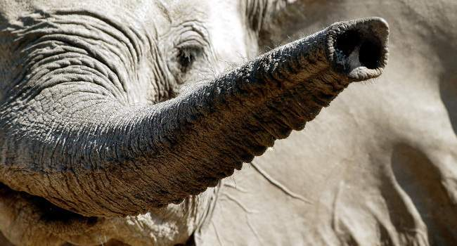 Trunk Call in Shamwari Game Reserve