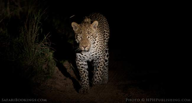 Tracking Leopards With a Master in South Luangwa