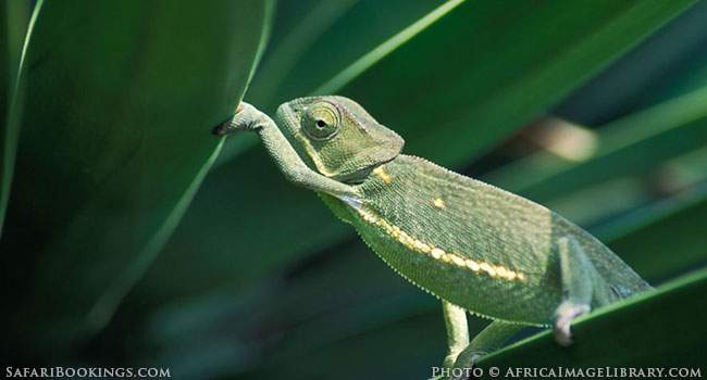 5 Fascinating Facts About the Flapneck Chameleon