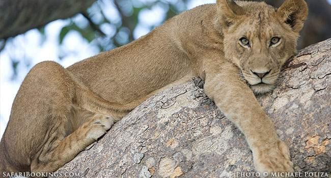 Watching Tree-Climbing Lions in Saadani N.P.