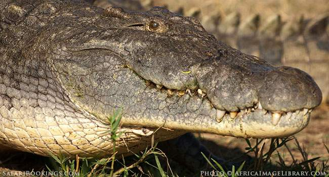 5 Fascinating Facts About the Nile Crocodile