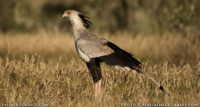 5 Fascinating Facts About the Secretary Bird