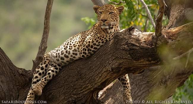 The Leopards of Tsavo