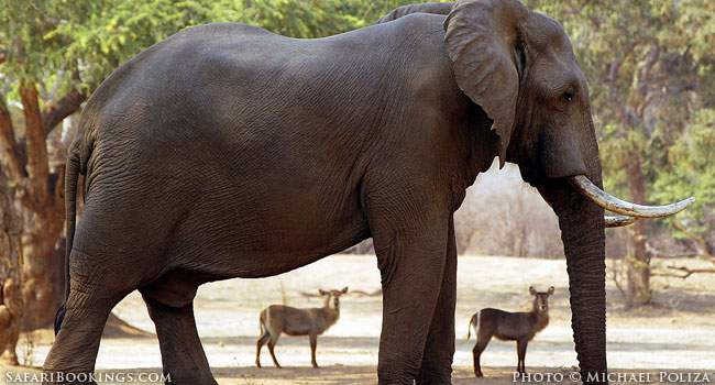 5 Fascinating Facts About the African Elephant
