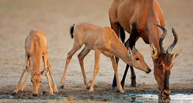 Kgalagadi Transfrontier Park – Staking Out Waterholes