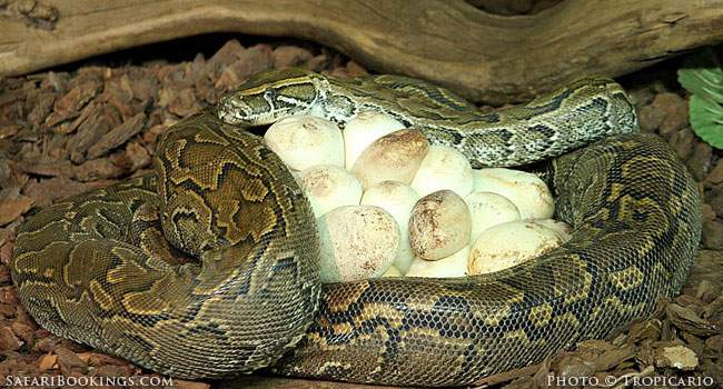5 Fascinating Facts About the African Rock Python
