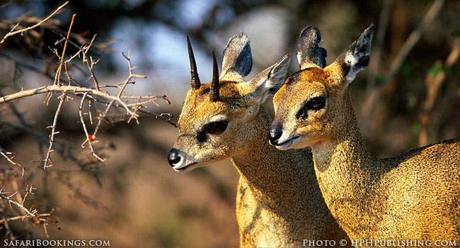 5 Fascinating Facts About the Klipspringer