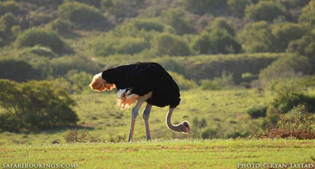 5 Fascinating Facts About the Ostrich