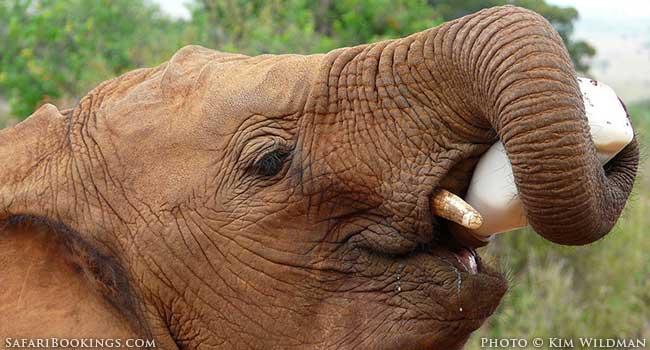 An Elephant's Tale At David Sheldrick Wildlife Trust