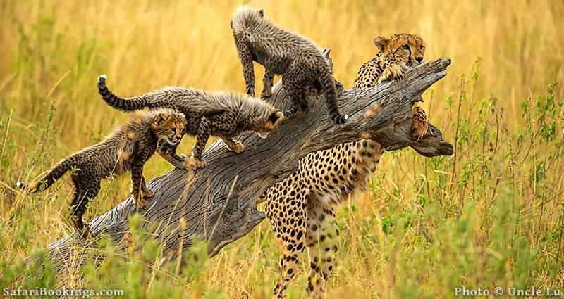 Mother cheetah with cubs at Masai Mara, Kenya