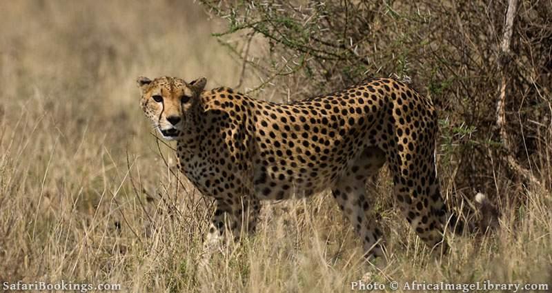 Cheetah at Buffalo Springs, Kenya