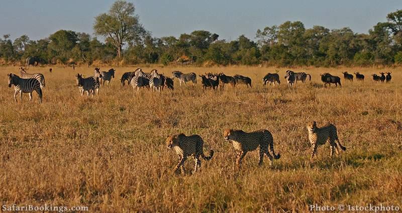 Cheetah walking past zebra and wildebeest at Savuti, Botswana