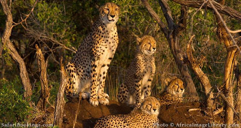 Cheetah with cubs at Phinda Game Reserve