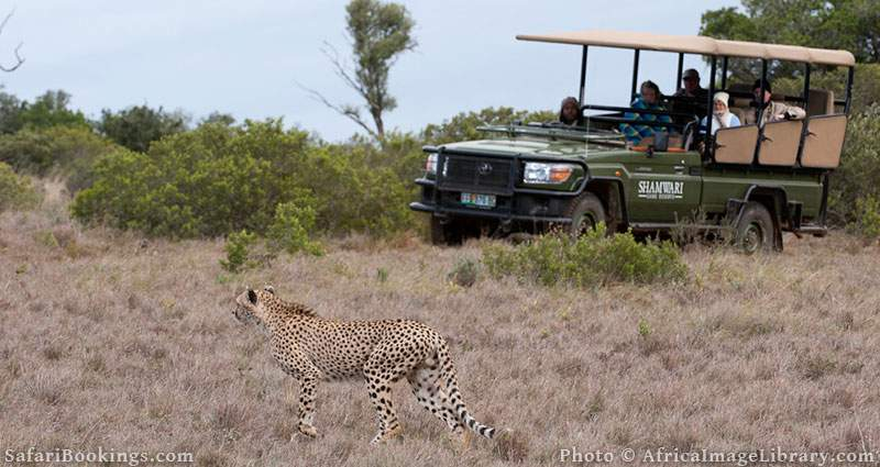Cheetah and safari vehicle at Shamwari Game Reserve