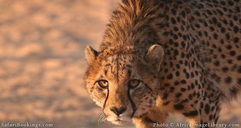 Namibian cheetah at Etosha National Park