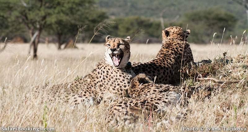 Cheetah resting at Okonjima Nature Reserve, Namibia