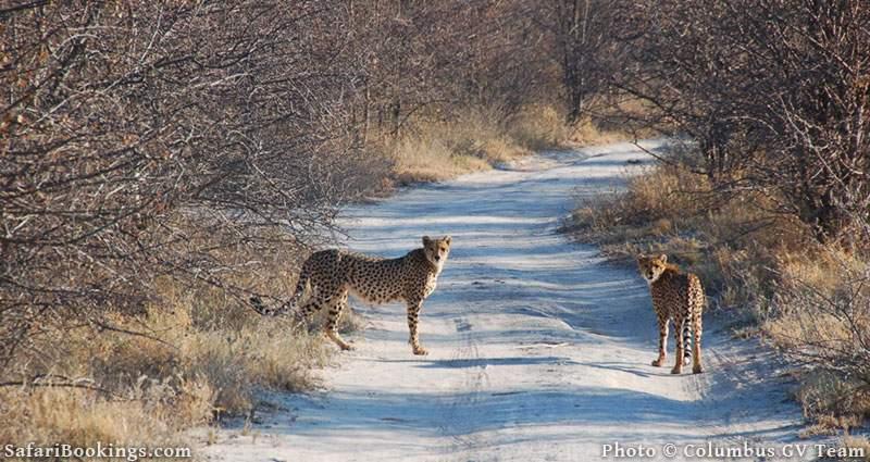 Two cheetahs on the road at Central Kalahari Game Reserve