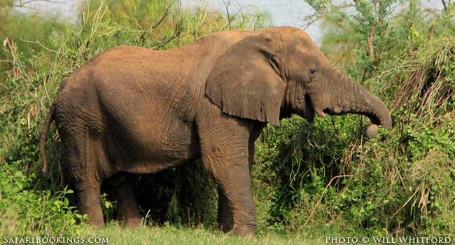 Elephant at Akagera National Park