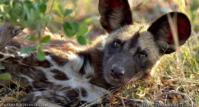 5 Interesting Facts About The African Wild Dog (Lycaon Pictus)