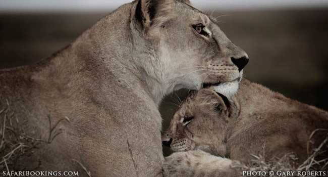 Save The Lions: A Plea from a 14-Year-Old Conservationist