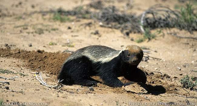 The Honey Badger - Africa's most Ferocious Predator?