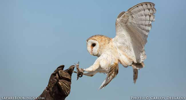 Africa's most fearsome, little seen predator: The Owl