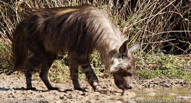 5 Fascinating Facts About Brown Hyena