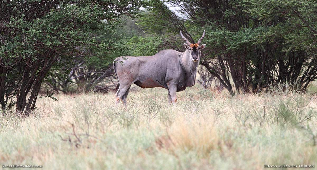 5 Fascinating Facts About the Eland
