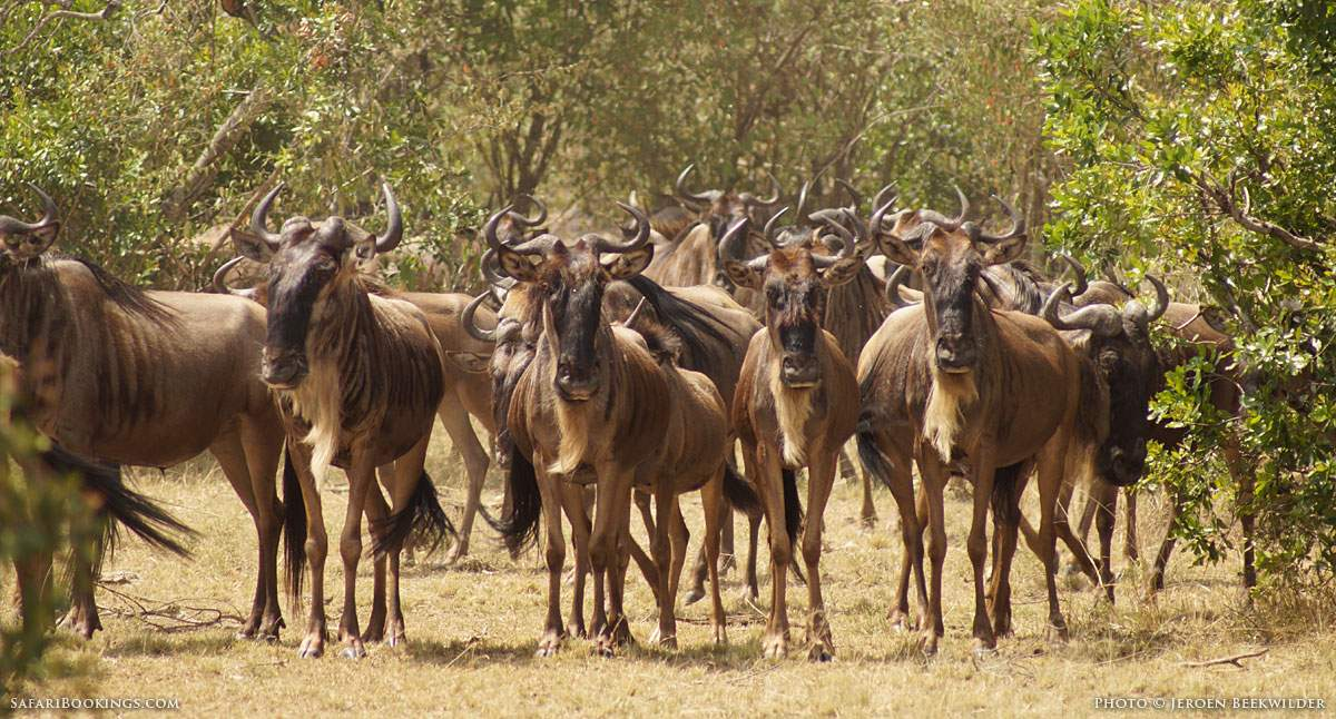 5 Fascinating Facts About The Blue Wildebeest