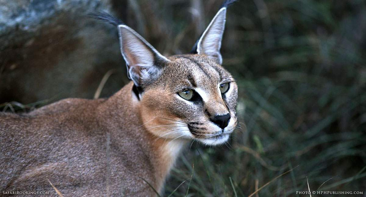 5 Fascinating Facts About The Caracal