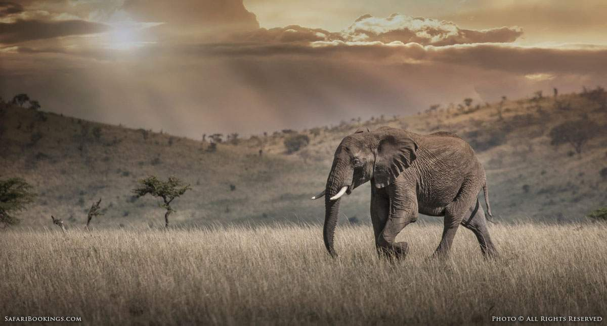 Africa's Decreasing Elephant Population:<br />A Country-by-Country Analysis