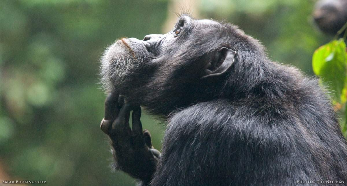 5 Fascinating Facts About The Common Chimpanzee