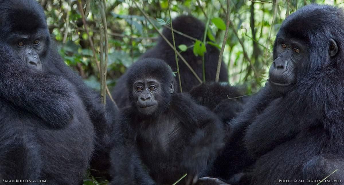 Rwanda Shocks Safari Industry by Doubling the Cost of its Gorilla Permits