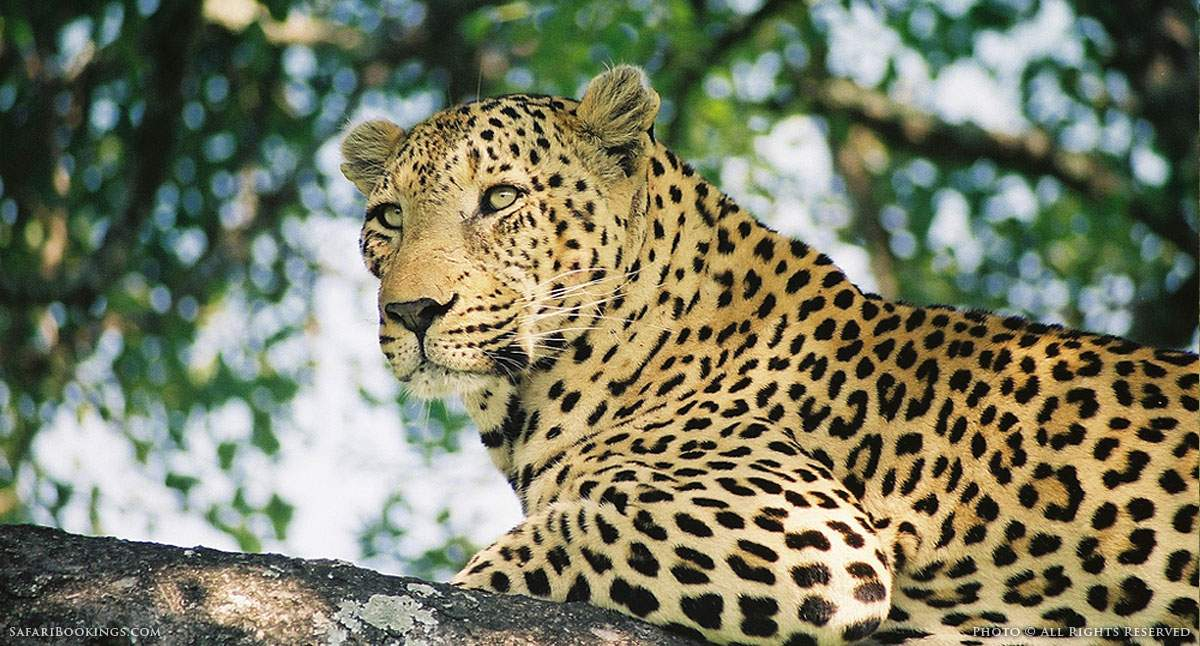 5 Fascinating Facts About the Leopard (Panthera pardus)