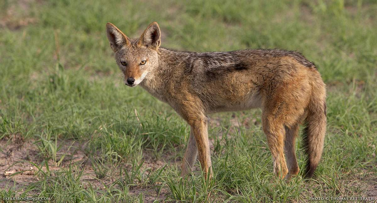 5 Fascinating Facts About the Black-Backed Jackal