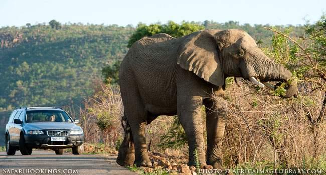 Wandering Elephant in Pilanesberg Game Reserve