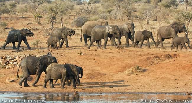 Elephant herd in Kruger National Park