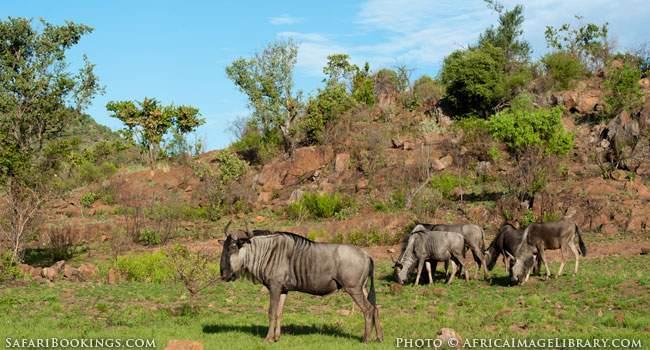 Wildebeest in Pilanesberg Game Reserve