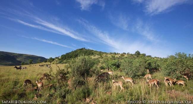 Impala's and Zebra's in Pilanesberg Game Reserve