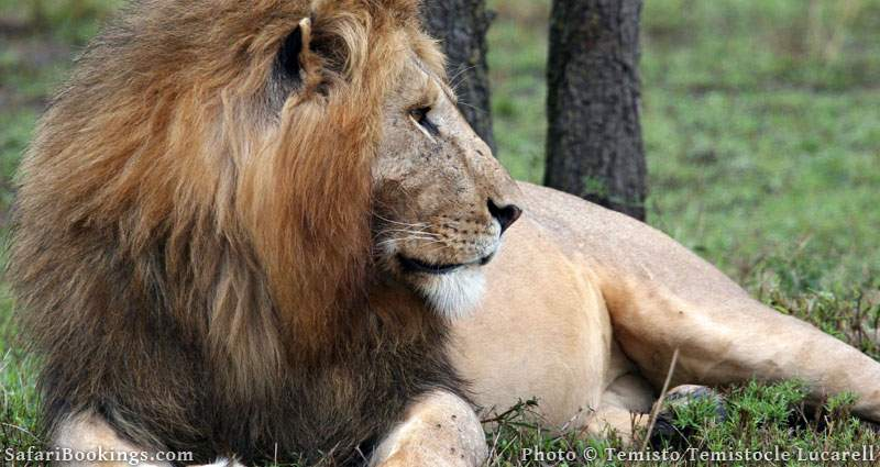 Lion relaxing in Masai Mara National Reserve in Kenya