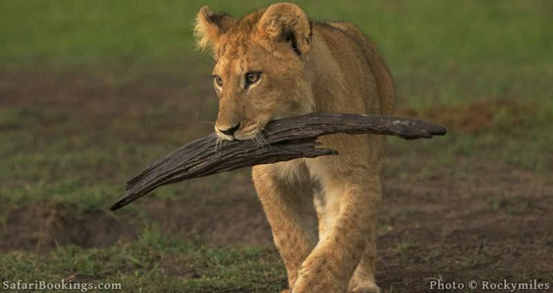 Lion cub, in Masai Mara National Reserve, training his retrieving skills ;-)