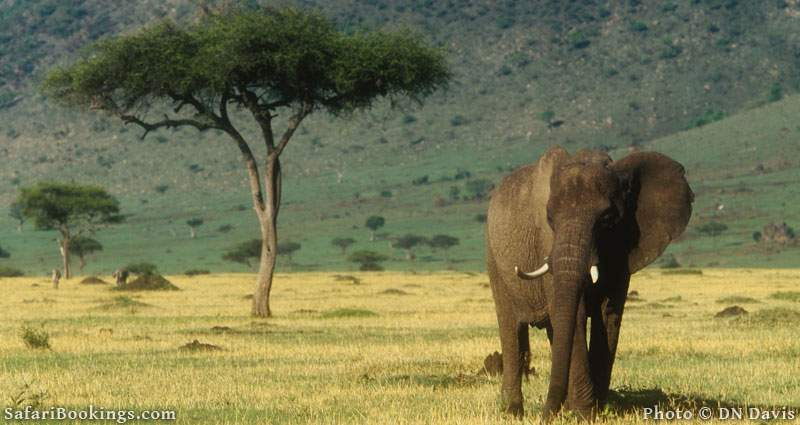 A single African elephant. Picture by DN Davis.