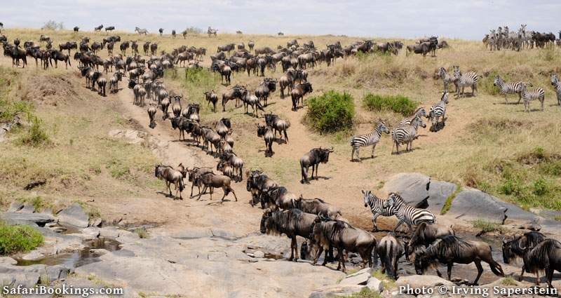 Great migration of the wildebeest, heading out looking for water in Masai Mara National Reserve. Picture by Irving Saperstein