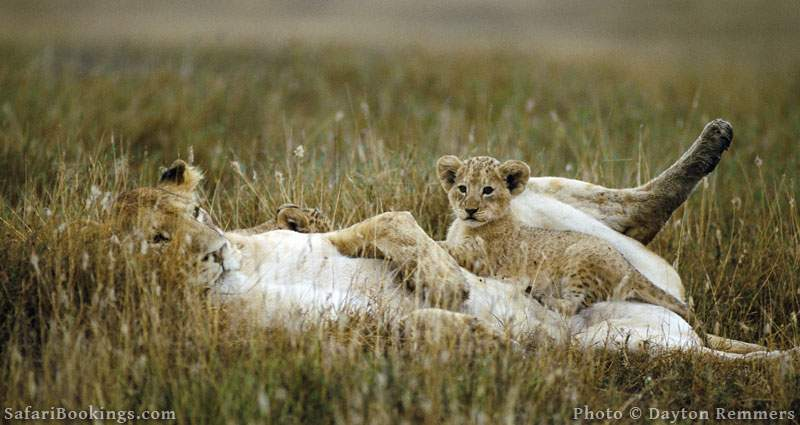 Lioness with cub in Masai Mara National Reserve. Picture by Dayton Remmers.