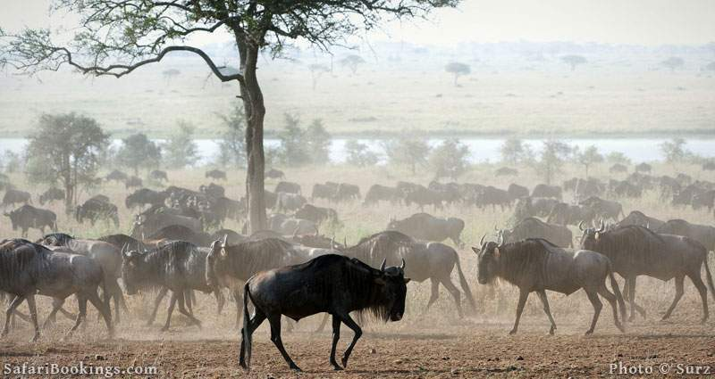 Great migration of the wildebeest, in Masai Mara National Reserve. Picture by Surz