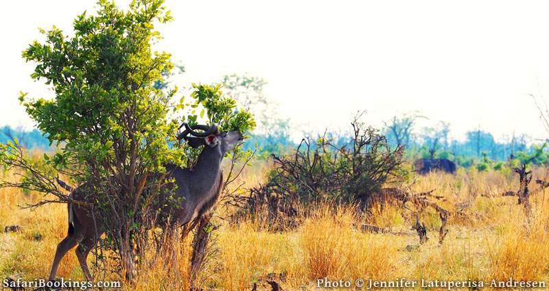Kudu scratching its back on Chief's Island, Botswana.