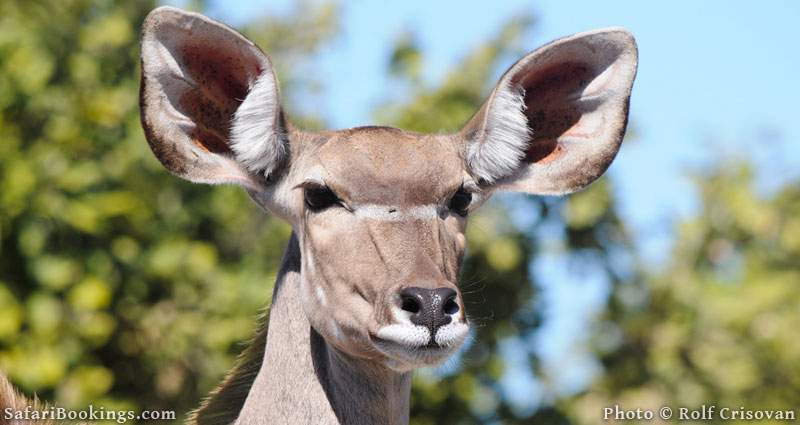 Greater Kudu in Linyanti Concession in Botswana