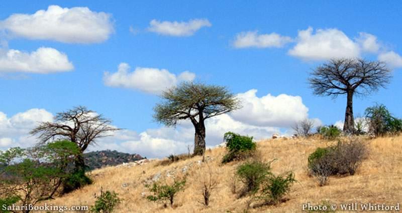 Baobabs of Ruaha National Park.