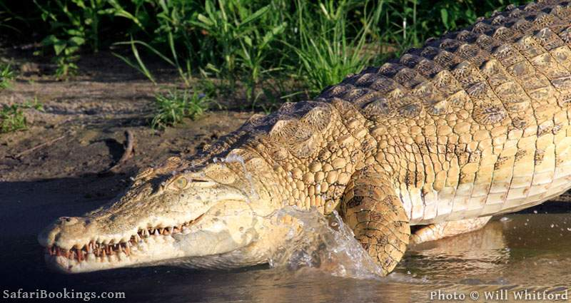 One of the hundreds of crocodiles in Lake Nzerakera, Selous Game Reserve.