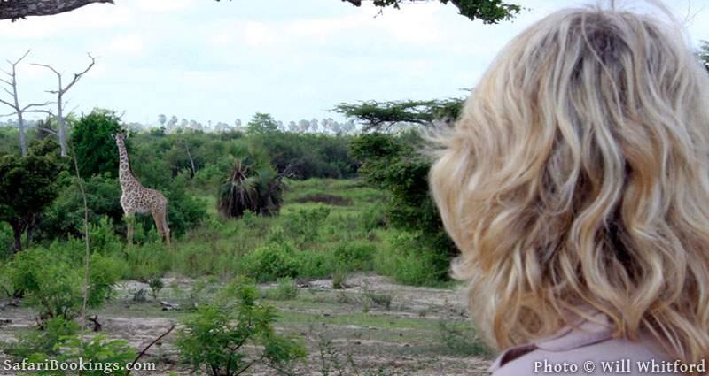 Encountering giraffe on a walking safari in Selous Game Reserve.